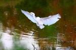 Great Egret landing Riparian Bird Park Gilbert, AZ