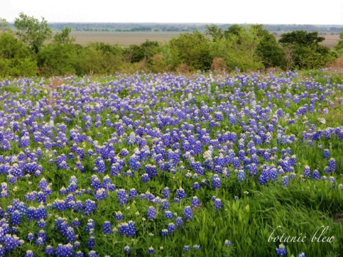Bluebonnets, Ennis, field of dreams, Texas, Texas bluebonnet
