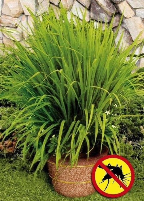 Asian market, garden, grocery store, lemongrass, mature plant, mosquitoes, natural way
